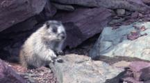 Hoary Marmot On The Rock