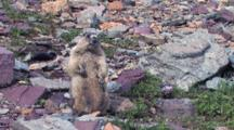 Hoary Marmot Standing Upright On The Rock, Talking