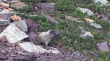 Hoary Marmot Eating Leaves