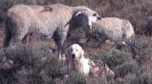 Sheepdog Guards Herd Of Sheep
