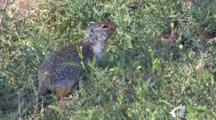 Columbian Ground Squirrel Eating Grass