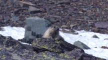 Hoary Marmot Mother And Two Babies Playing On The Rock