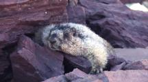 Hoary Marmot Laying On The Rock