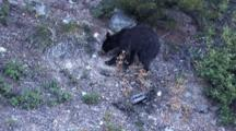 Black Bear Looking For Food In The Ground