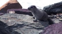 Baby Marmot Sitting On The Rock In The Wind