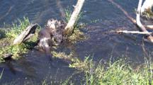 Mother And Baby Otters Play And Swim