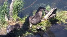 Family Of Otters Playing On Driftwood By The River