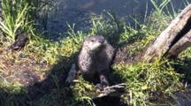 Young Otter Playing On Driftwood By The River