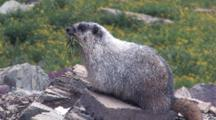 Hoary Marmot Gathers Grass To Build Nest