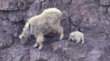 Mother And Baby Mountain Goat On The Side Of A Cliff