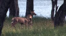 Two Fawn Roaming In The Woods By The Water