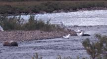 Flock Of Ring-Billed Gulls At River's Edge