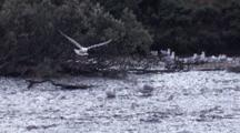 Flock Of Ring-Billed Gulls At Water's Edge