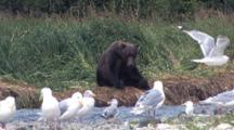 Grizzly Bear Sits Resting On River Bank, Lots Of Gulls