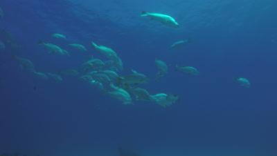 Big Dog Snapper (Lutjanus novemfasciatus), reefs of Sea of Cortez, Pacific ocean. Cabo Pulmo National Park, Baja California Sur, Mexico. Cousteau named it The world's aquarium.