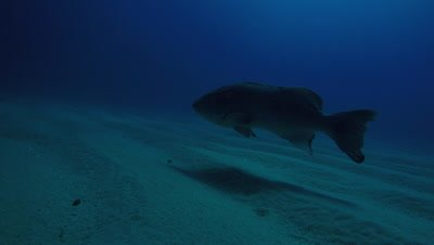 Big Gulf grouper (Mycteroperca jordani), resting in the reefs of the Sea of Cortez, Pacific ocean. Cabo Pulmo National Park, Baja California Sur, Mexico. Cousteau named it The world's aquarium.
