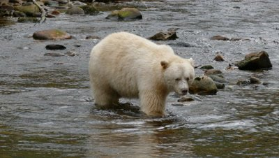 Spirit Bear wading across stream