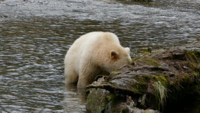 Spirit Bear walking on log across stream
