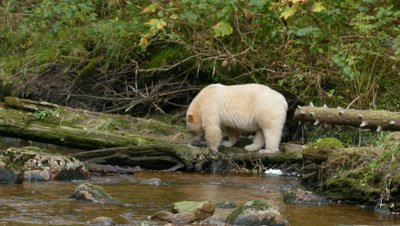 Spirit Bear walking on stream