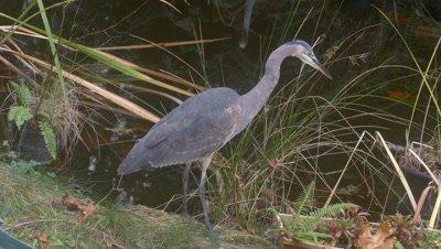 Great Blue Heron at backyard pond
