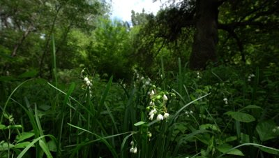 Spring Snowflake Flowers, Leucojum Vernum, Group In A Spring Floodplain Forest