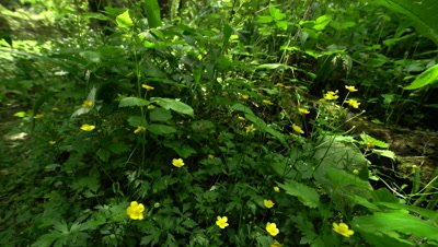 Marsh Marigold, Caltha Palustris Blooms In Early Spring