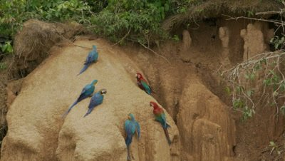 Blue-and-yellow macaw on Collpa