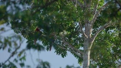 Scarlet macaw sitting on brach