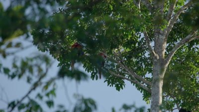 Scarlet Macaw on tree