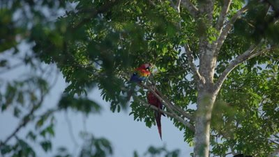 Scarlet macaw in the tree