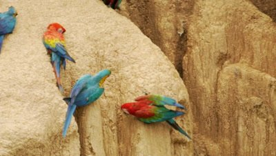 Blue-and-yellow macaw, Scarlet macaw, and Red-and-Green Macaw on Collpa