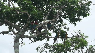 Red-and-Green Macaws and Blue-and-Yellow Macaws perched in tree