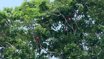 Red and green macaw on tree