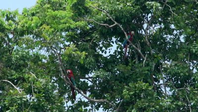 Red and green macaw sitting on tree