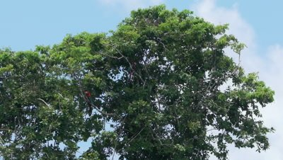 Red and Green Macaws in the Peruvian rainforest