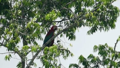 red and green, scarlet macaw sitting on tree