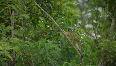 Squirrel monkey, climbing-up