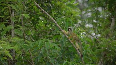 Squirrel monkey, climbing-up