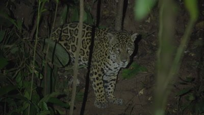Wild jaguar in the Peruvian rainforest, Tambopata National Reserve
