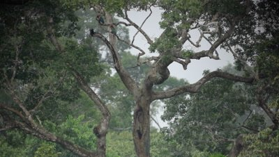 Scarlet macaws perched in a tree take flight