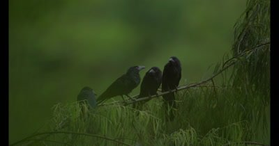 Three giant cowbirds