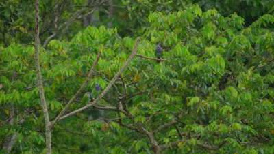 Blue-headed Parrots in the Peruvian rainforest