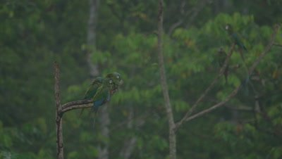 Macaws in the Peruvian rainforest, possibly Chestnut-fronted Macaws
