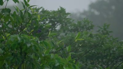 Parrots in the Peruvian rainforest, possibly Blue-headed Parrots and Chestnut Fronted Macaws