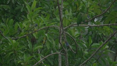 Parrots in the Peruvian rainforest, possibly Blue-headed Parrots