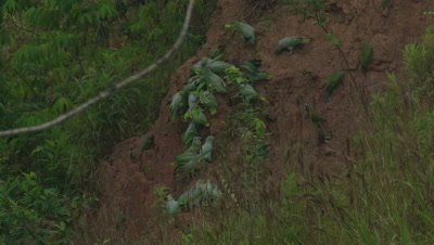 Macaws and Parrots at Clay Licks in Peruvian rainforest; possibly Mealy Parrots, Chestnut-fronted Macaw, and Blue-headed Parrots