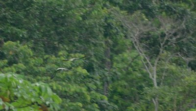 Parrots flying in the Peruvian rainforest, possibly Mealy Parrots and Blue-headed Parrots