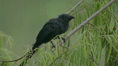 Giant cowbird in the Peruvian rainforest