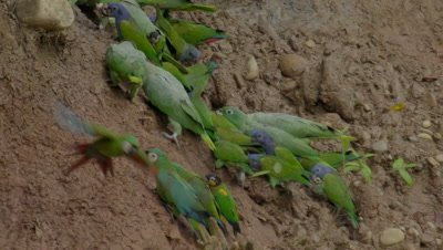 Macaw Clay Lick in Tambopata National Reserve