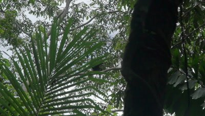 Spider monkey in the preuvian rainforest